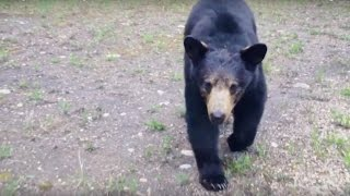 Black bear follows joggers through trails near Fort McMurray - Video thumbnail