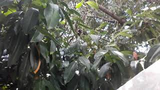 Laz Kirazı - Laz Kirazı Nerede Yetişir - Laz Kirazı Ağacı - Taflan Ağacı Yaprak Döker Mi
