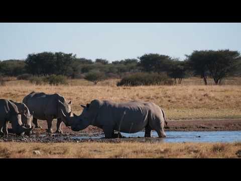 P5230149   Vele witte neushoorns in Khama Rhino Sanctuary