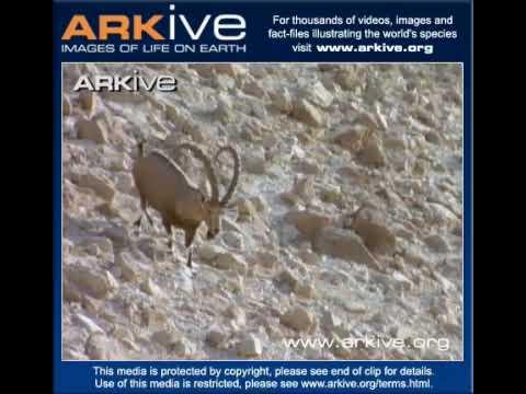 Walia Ibex overview