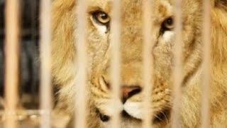 Sembilan Singa Diselamatkan dari Sirkus di Peru