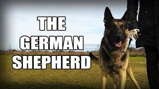 THE GERMAN SHEPHERD  A QUICK LOOK AT THE HISTORY AND BREED STANDARD