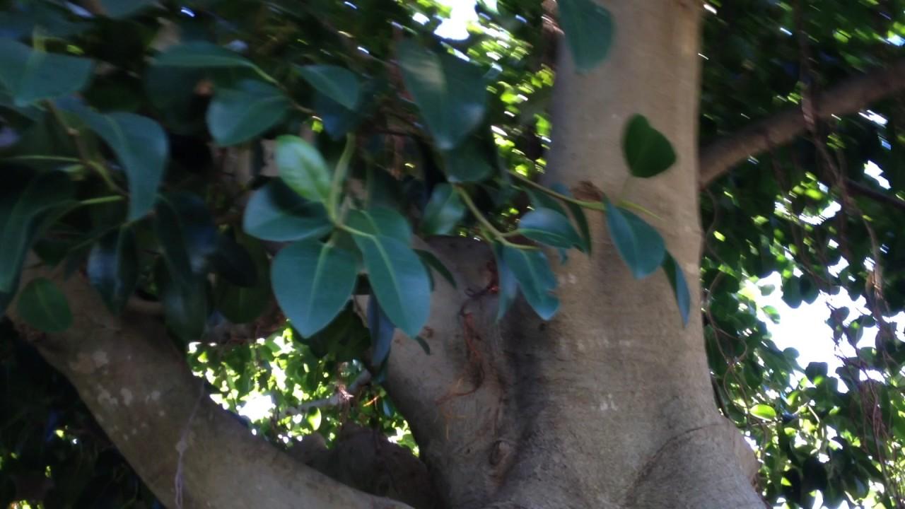 Come Riprodurre Il Ficus Benjamin ecco cosa diventa un ficus pianta d'appartamento piantato in