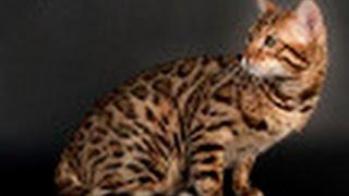 Чистокровные элитные бенгальские котята в Москве, питомник