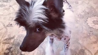 Chinese Crested, our NEW puppy CASH!