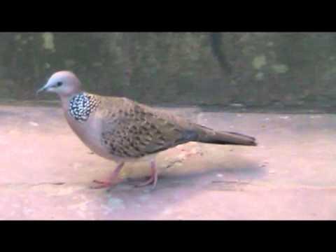 นกเขาใหญ่,นกเขาหลวง(Spotted Dove)