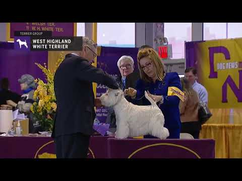 West Highland White Terrier | Breed Judging 2019
