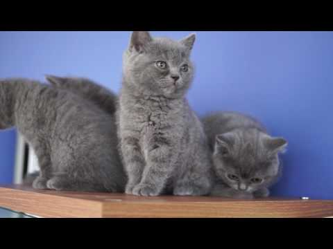 50 day old British Kittens, cattery Fantasy Avalon
