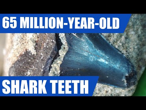 Fossil Shark Teeth Hunt - I Find A Tooth From The Megalodon's Cretaceous Ancestor