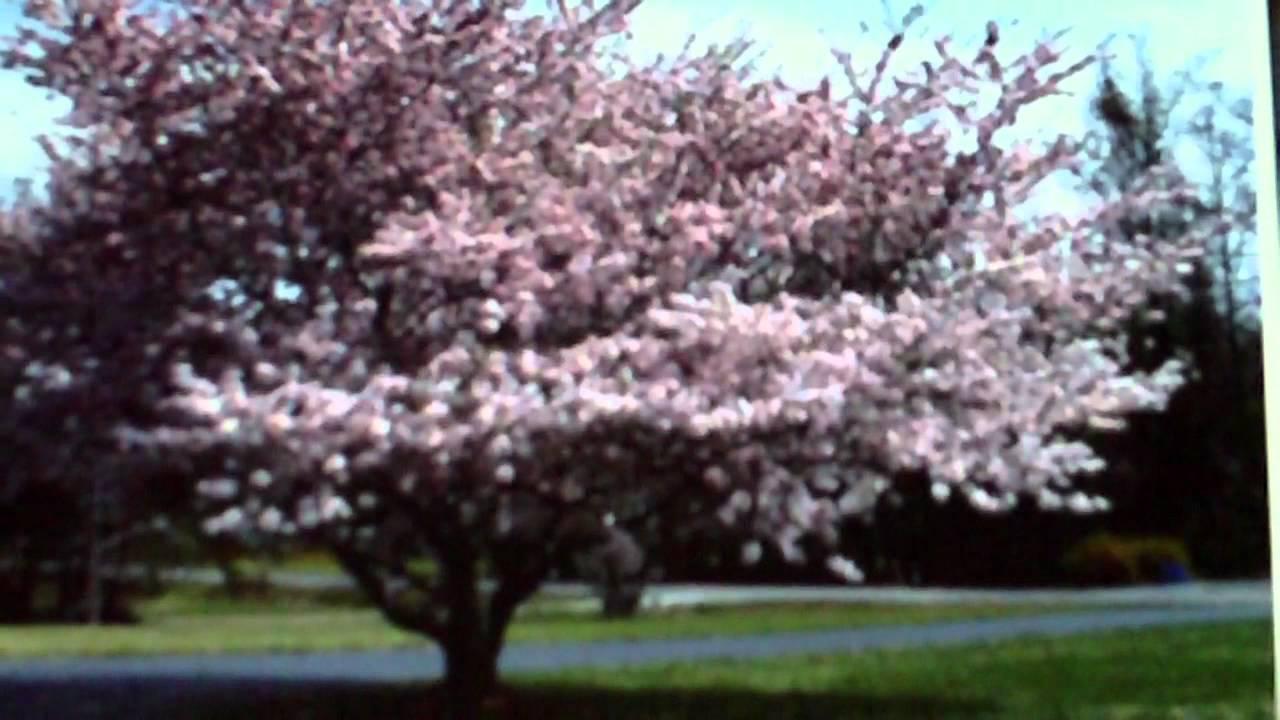 Yoshino Cherry Tree For 5 00 From The Grower Tn Online Nursery