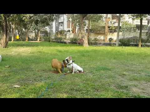 French Bulldog India Group in Park