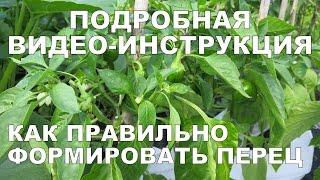 КАК ФОРМИРОВАТЬ ПЕРЕЦ?  Формирование перца 2 / How to Prune Pepper Plants DETAILED VIDEO GUIDE
