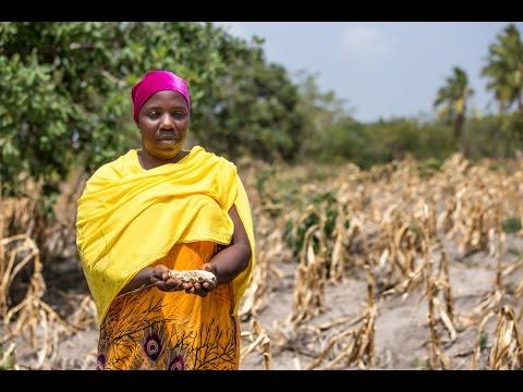 GMO maize for Tanzania's drought-stricken farmers