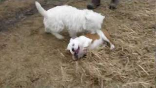 English Bulldog Puppy And Westie Play
