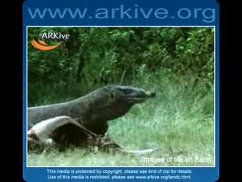 Komodo Dragon - Fauna Clips
