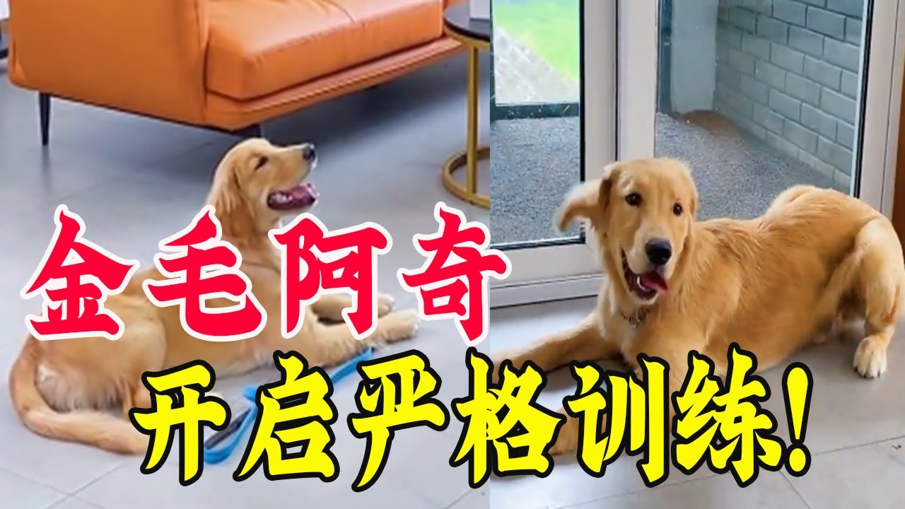 规则训练必须严格,不然主人很容易被狗反训练【犬道APP】