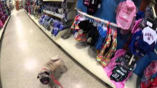 Puggles Goes To Petsmart