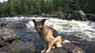 Пропала собака породы Немецкая овчарка по кличке: Пума в Санкт Петербурге