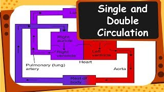 Biology - Single and double circulation of blood - Life Processes - Part 13 - English
