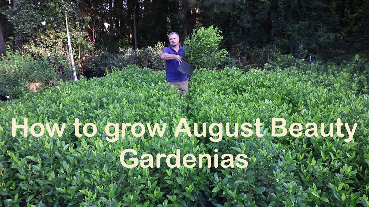 How To Grow August Beauty Gardenia With A Detailed Description Youtube