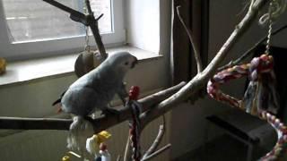 папугай жако гоша 5 месяцев