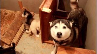 Строгая мамаша и щенки хаски