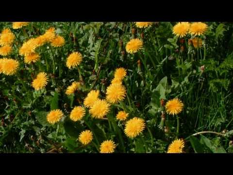 Common Wild Flowers of Britain and Ireland