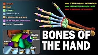BONES OF THE HAND (LEARN IN 2.5 MINUTES!)