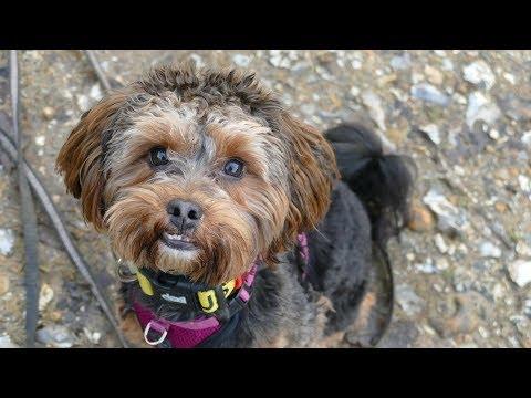 Albert - Yorkipoo - 3 weeks Residential Dog Training