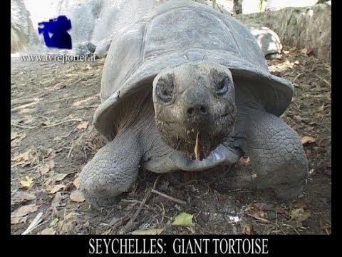 SEYCHELLES: GIANT TORTOISE
