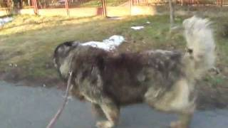 Kavkaski ovčar  BALKAN  MASTER kennel