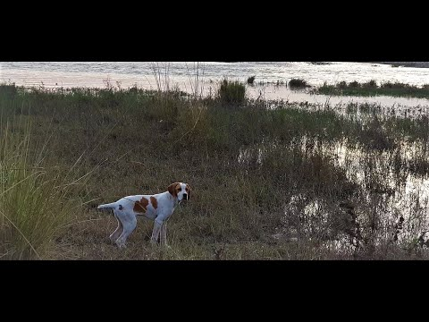 English Pointer ! 4 Months ! Female ! Bella , Beautiful .