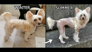Chinese Crested hairy hairless Winter to Summer transformation pony cut show groom