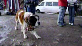 Beethoven (cachorro De Rua)