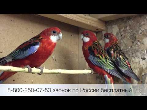 Розелла красная (Platycercus eximius) продажа оптом