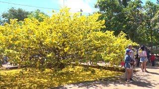 Cây mai cổ thụ, có hoa 2 lớp khổng lồ thu hút hàng ngàn người ở VN