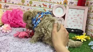 ペットショップ 犬の家 神戸店 「ハーフ犬(トイ・プードル×マルチーズ)」「101478」 thumbnail