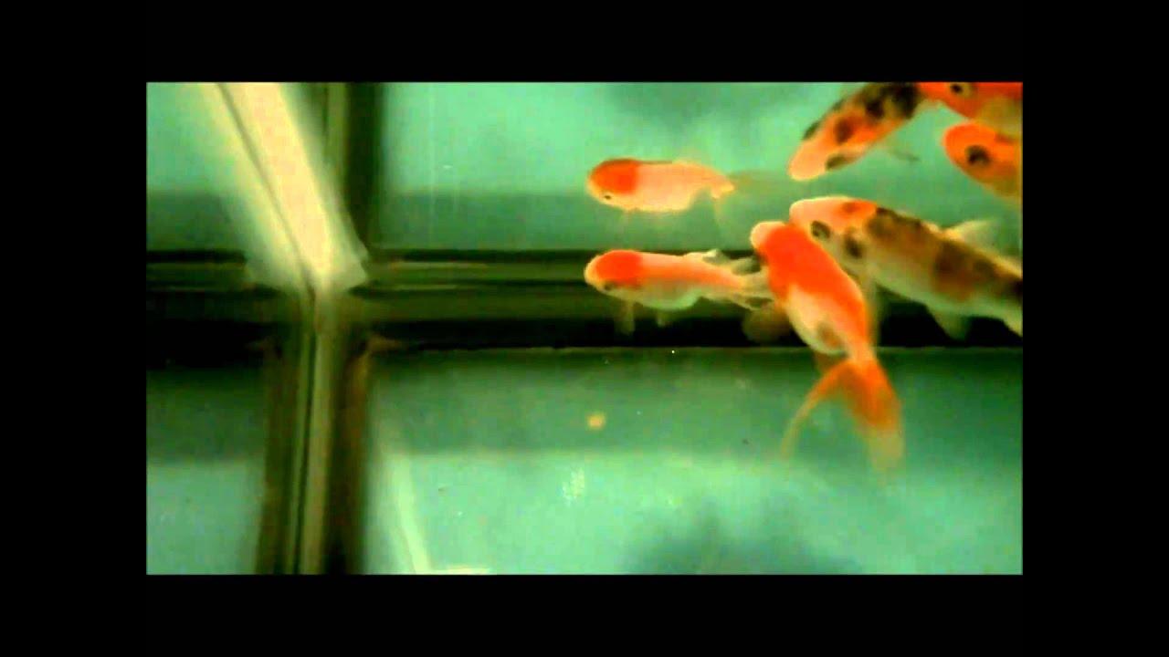 50 gallon tank koi and fancy goldfish setup youtube for Koi vs goldfish