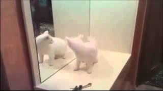 Кот ненавидит зеркало