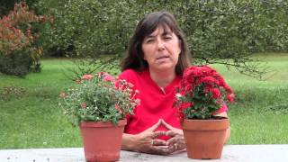 How to Plant Mums in September : Planting & Caring for Mums