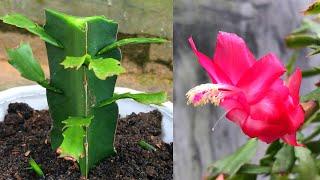 Cách trồng xương rồng giáng sinh   How to transplant the Christmas cactus