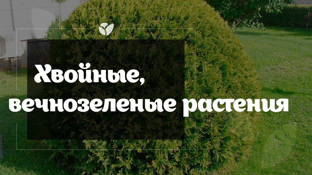 Купить саженцы хвойных растений вы сможете на страницах веб-сайта. Примечательно то, что растения одного рода (можжевельник, туя и др. ).