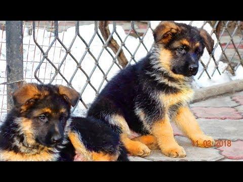 SALE. Щенки Немецкой овчарки от Райда и Дези. Puppies Of The German Shepherd Dog