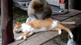 Обезьяна ловит у кота блох