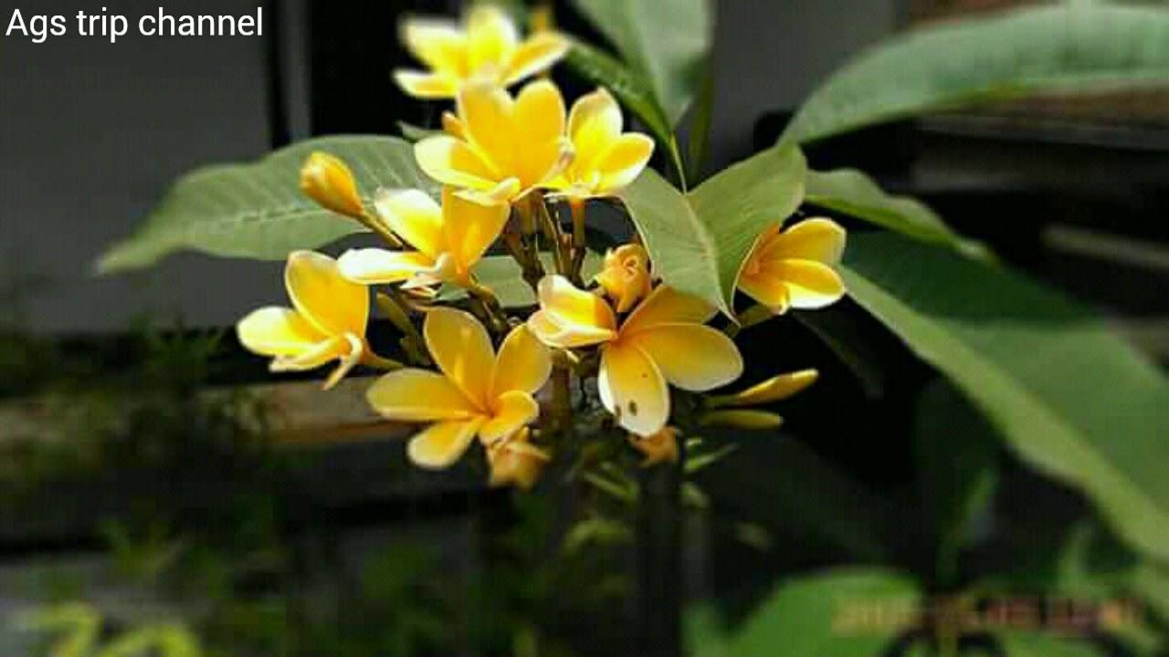 Download 450 Gambar Mahkota Bunga Kamboja HD Gratid