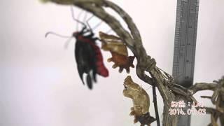 紅紋鳳蝶羽化過程(無調整速度),併入各階段攝影寫真,完整呈現紅紋鳳...