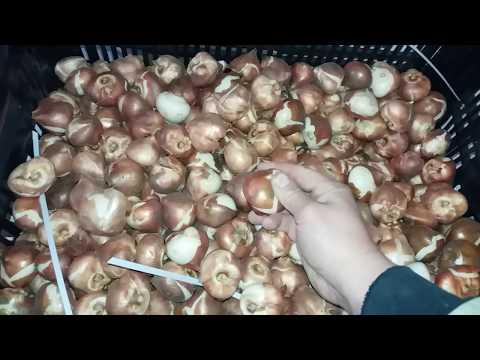 Выгонка тюльпана к 8 марта. Подготовка луковицы к высадке. Помещение для выгонки.