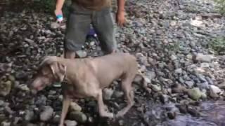 相模原の秘密の川での大型犬シュシュの川遊び 毎日50回の健康水泳で底体...