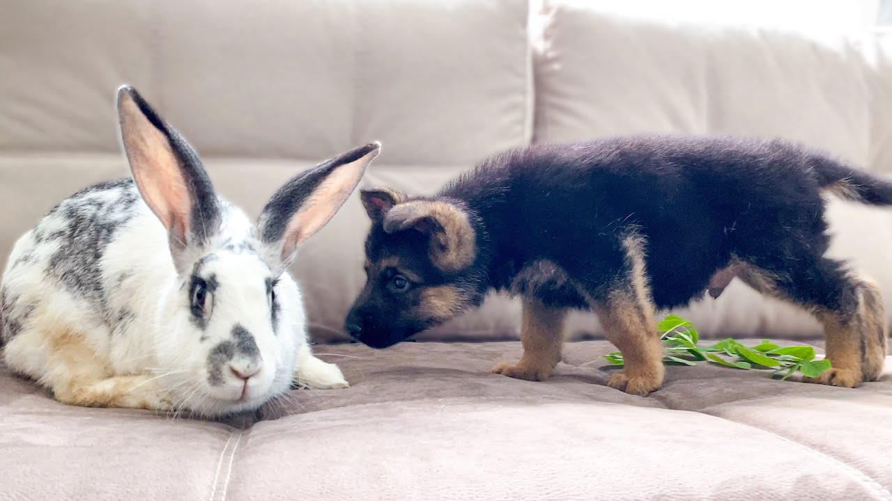 German Shepherd Puppy Meets Giant Rabbit for the First Time!
