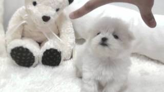 Teacup Puppy For Sale. Teacup Maltese For Sale.